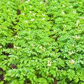 Potato field background — Stock Photo