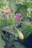 Immature aubergine shrub — Stock Photo