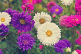 A bee on a flower aster — Stock Photo