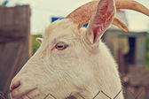 Goat head close-up — Stock Photo