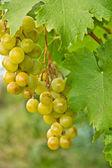 Grappolo d'uva matura su un cespuglio — Foto Stock