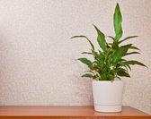 Anturium roślina doniczkowa na desce — Zdjęcie stockowe