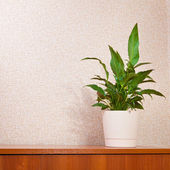 Houseplant anthurium on a wooden board — Stock Photo