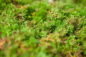Recumbent juniper background shallow depth of field — Stock Photo