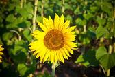 Sunflower close-up — Stock Photo