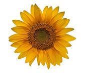 Sunflower close-up on white background — Stock Photo