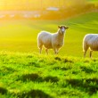 Sheep Grazing at Sunset — Stock Photo