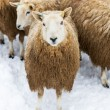 Flock of Sheep in Snow — Stock Photo