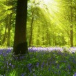 Panoramic Bluebell Wood — Stock Photo #21687667