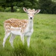 Fallow Deer — Stock Photo #21794167