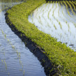 Flooded Rice Paddy Seedlings — Stock Photo