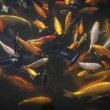 Koi Carp in a Pond — Stock Photo