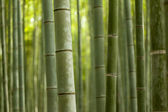 Bamboo Forest Closeup — Stock Photo