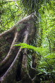 Buttress Roots in Rainforest — Stock Photo