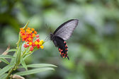 Swallowtail Butterfly Hovering by Flower — Stock Photo