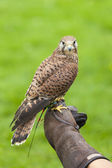 Female Common Kestrel on Falconry Glove — Stock Photo