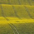 Oilseed Rape Crop in Rolling Hills with Tractor Tracks - Stock Photo