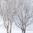 Birch Trees in Snow — Stock Photo