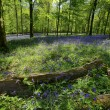 Bluebell Wood HDR - Stock fotografie