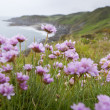 Pink Thrift Flowers on Clifftop — Stock Photo