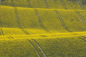 Oilseed Rape Crop in Rolling Hills with Tractor Tracks — Stock Photo