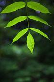 Zelený popel listy — Stock fotografie