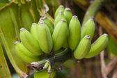 Bananas growing on a tree — Stock Photo