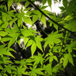 Backlit Green Acer Leaves — Stock Photo