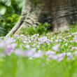 Cuckoo Flowers in a Meadow - Stock Photo