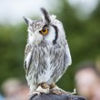 Southern White-faced Owl — Stock Photo #22528813