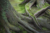 Mossy Tree Roots — Stock Photo