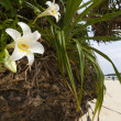 Lilies Growing off Rocks at Kabira Bay — Stock Photo