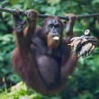 Orangutan eats bananas - Stock Photo