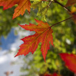 First Autumn Leaves — Stock Photo