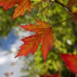 Stock Photo: First Autumn Leaves
