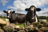 Curious cows look over wall — Stock Photo