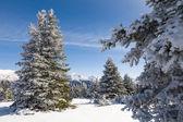Snötäckta granar och bergen — Stockfoto