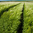 Tracks in Barley field — Stock Photo