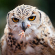 Pharaoh Eagle-Owl — Stock Photo