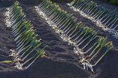 Leeks growing in Rows — Stock Photo