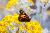 Small Tortoiseshell Butterfly on Dusty Miller plant — Stock Photo
