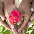 Senior African American Couple Hands Holding Rose Flower — Stock Photo #21589295