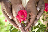 Senior African American Couple Hands Holding Rose Flower — Stock Photo