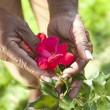 Senior African American Woman Hands Holding Rose Flower — Stock Photo #21727085