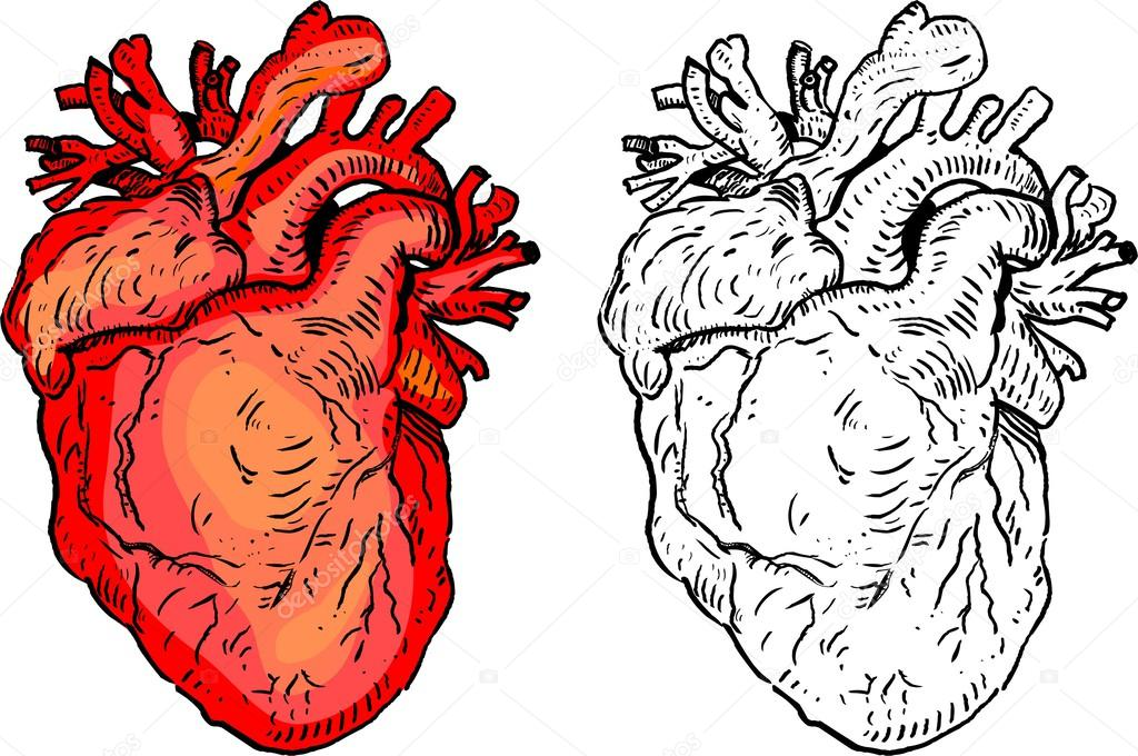 Human Heart Vector Image Illustration of Human Heart