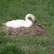 Swan on its nest - Stock Photo
