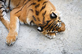 Tired tiger — Stock Photo