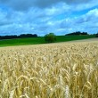 Wheat field in Loire valley — Stock Photo