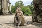 Monkeys in Angkor Wat Cambodia — Foto Stock
