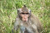 Monkeys in Angkor Wat Cambodia — Stock Photo